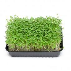 Семена Брокколи для проращивания 100 г